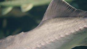 Pescados del esturión del primer que nadan el acuario subacuático Pescados salvajes en oceanarium metrajes