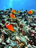 Pescados del filón coralino Foto de archivo libre de regalías