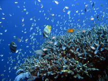 Pescados del filón coralino Imágenes de archivo libres de regalías
