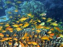 Pescados del filón coralino Foto de archivo