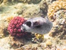 Pescados del fumador Mar Rojo Egipto Imagen de archivo
