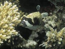 Pescados del fumador Mar Rojo Egipto Fotos de archivo libres de regalías
