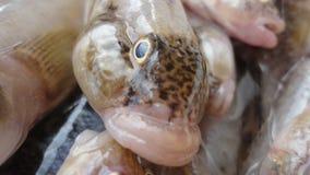 Pescados del gobio Fotografía de archivo libre de regalías