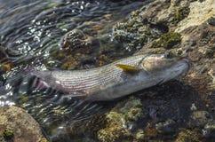 Pescados del Grayling en agua en piedras del río Pesca en el río salvaje Imagenes de archivo