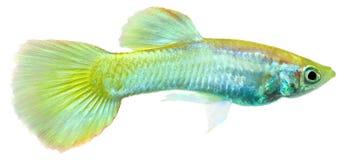 Pescados del Guppy (reticulata de Poecilia) Fotos de archivo libres de regalías