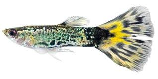 Pescados del Guppy (reticulata de Poecilia) Fotografía de archivo