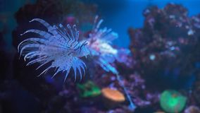 Pescados del león, arrecife de coral subacuático fotos de archivo