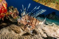 Pescados del león en el Mar Rojo fotografía de archivo libre de regalías