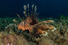 Pescados del le?n en el Mar Rojo foto de archivo libre de regalías