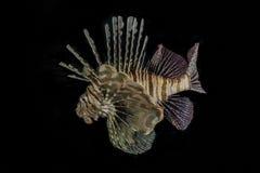 Pescados del le?n en el Mar Rojo fotografía de archivo
