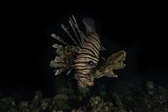 Pescados del le?n en el Mar Rojo imágenes de archivo libres de regalías