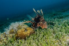 Pescados del le?n en el Mar Rojo fotos de archivo