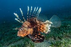 Pescados del le?n en el Mar Rojo imagen de archivo libre de regalías