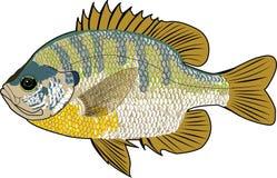 Pescados del Lepomis macrochirus imagen de archivo