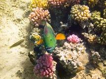 Pescados del loro Mar Rojo Egipto Imagen de archivo