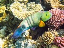 Pescados del loro Mar Rojo Egipto Imagenes de archivo