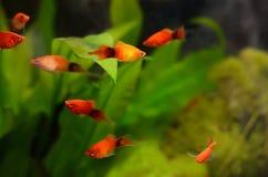 Pescados del maculatus de Xiphophorus Fotos de archivo libres de regalías