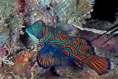 Pescados del mandarín Foto de archivo