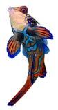 Pescados del mandarín. Synchiropus Splendidus. Imagen de archivo libre de regalías