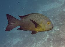 Pescados del mero Foto de archivo libre de regalías