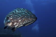 Pescados del mero Fotos de archivo libres de regalías