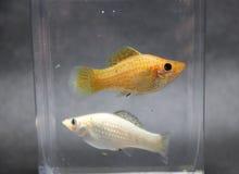 Pescados del molly de Sailfin, plata y color anaranjado en la caja del vidrio de agua la hembra es más grande fotos de archivo libres de regalías