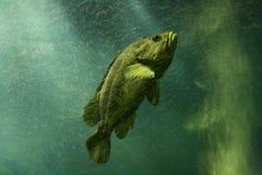 Pescados del océano Imagen de archivo libre de regalías