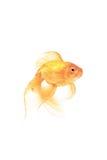 Pescados del oro Foto de archivo libre de regalías