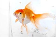Pescados del oro Imagenes de archivo