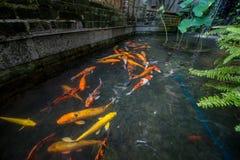 Pescados del oro Imagen de archivo libre de regalías