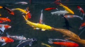 Pescados del oro Foto de archivo