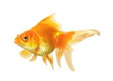 Pescados del oro aislados Fotos de archivo libres de regalías