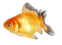 Pescados del oro. Aislamiento en el blanco Imagen de archivo