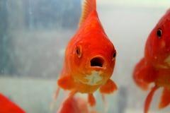 Pescados del oro con la boca abierta Fotos de archivo libres de regalías