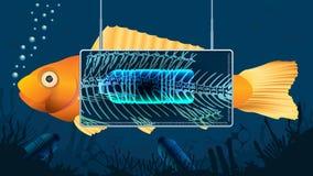 Pescados del oro detrás de una pantalla de la radiografía que muestra una botella plástica dentro del estómago del pescado en un  imágenes de archivo libres de regalías