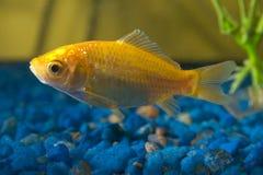 Pescados del oro en acuario Fotografía de archivo libre de regalías