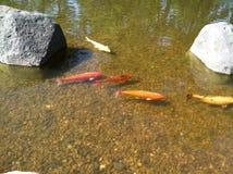 Pescados del oro en la charca japonesa del jardín Fotos de archivo libres de regalías