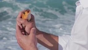 Pescados del oro en las manos del pescador que lo cogieron que hacía girar Cierre para arriba almacen de video