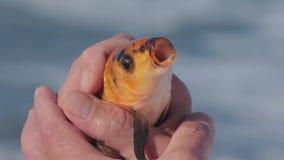 Pescados del oro en las manos del pescador que lo cogieron que hacía girar Cierre para arriba almacen de metraje de vídeo