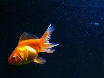 Pescados del oro que nadan en fondo azul marino fotos de archivo