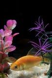 Pescados del oro que nadan profundamente sobre los guijarros blancos Fotos de archivo