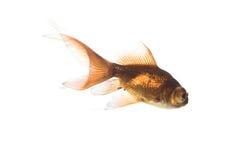 Pescados del oro sobre blanco imagen de archivo
