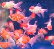 Pescados del oro sobre el agua Fotos de archivo libres de regalías