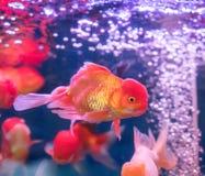 Pescados del oro sobre el agua Imagen de archivo