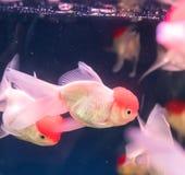 Pescados del oro sobre el agua Foto de archivo libre de regalías