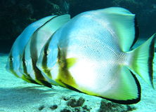 pescados del palo Foto de archivo libre de regalías