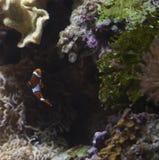 Pescados del payaso Imagenes de archivo