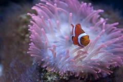 Pescados del payaso Imagen de archivo