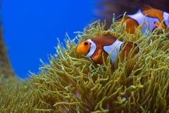 Pescados del payaso Fotos de archivo libres de regalías