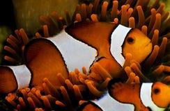 Pescados del payaso imágenes de archivo libres de regalías